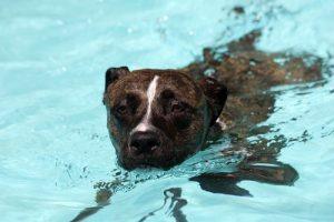 cao nadando piscina