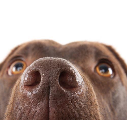 Focinho seco cachorro