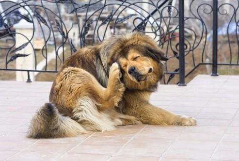 Coceira em cachorros e a alergia o que fazer