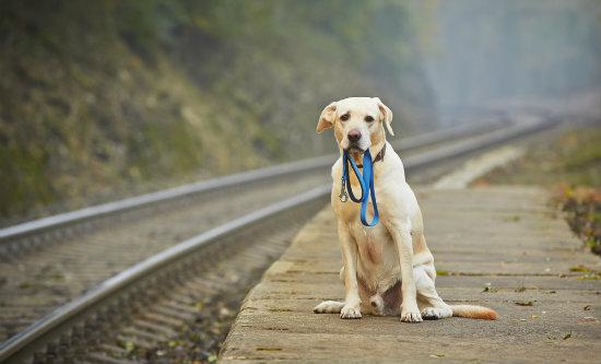 Animal perdido como recuperar o seu pet