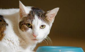 Gato com pote de comida
