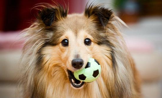 cão com bola