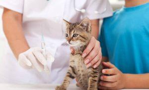Veterin[ario vacinando gato