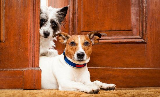 Cães observando pela porta